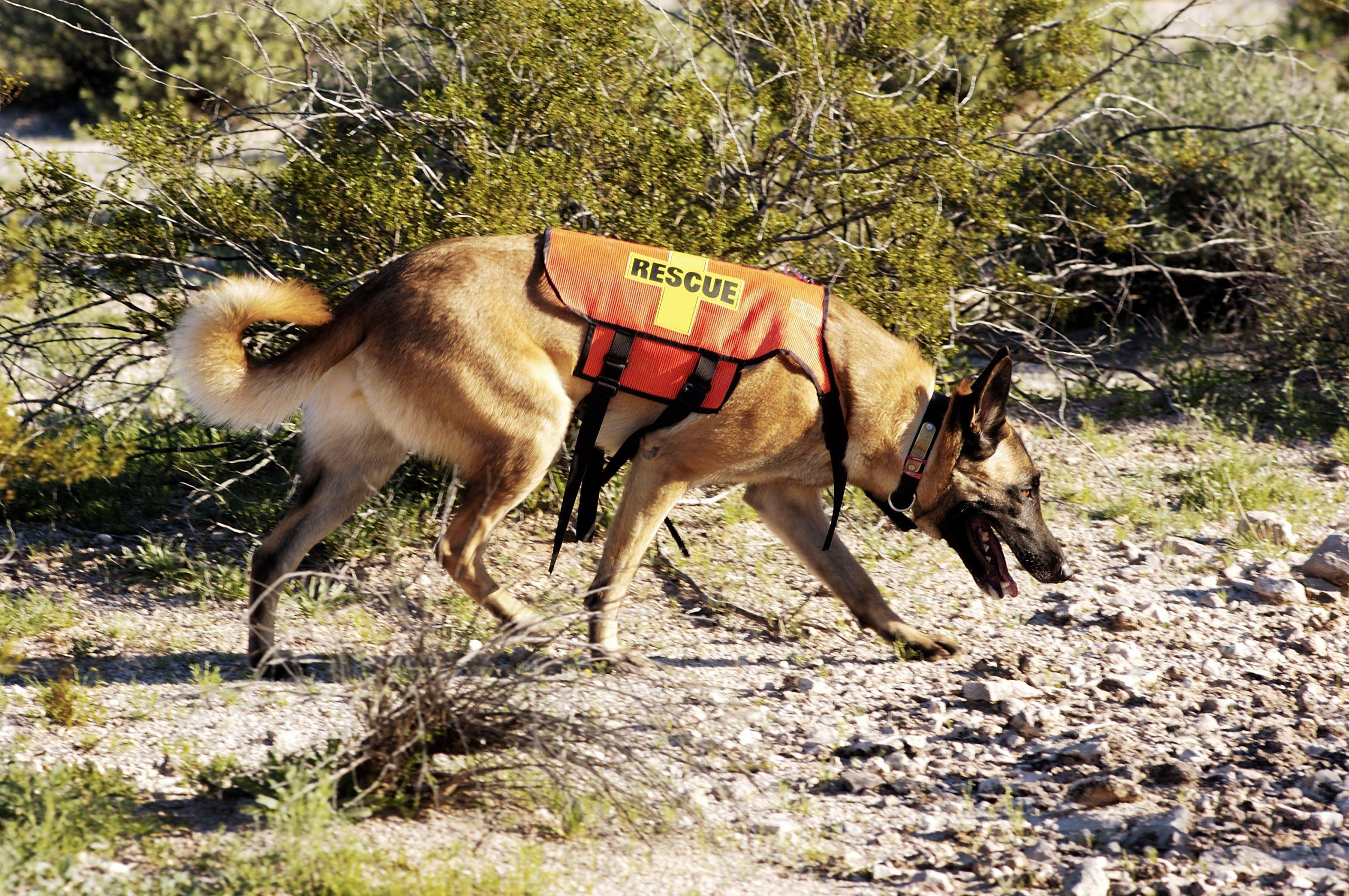 ¿Sabes cómo se adiestra un perro de búsqueda y rescate?