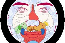 El esquema de los órganos internos sobre el rostro